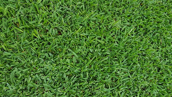 st augistine grass photo