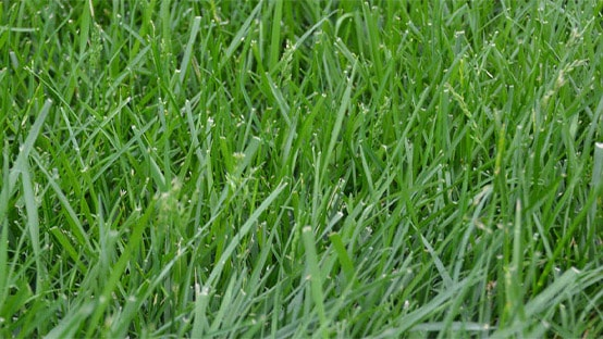 Best Types of Grass to Grow in the Shade 5