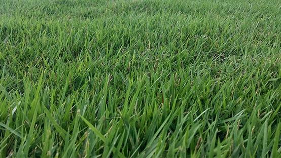 zoysia grass photo