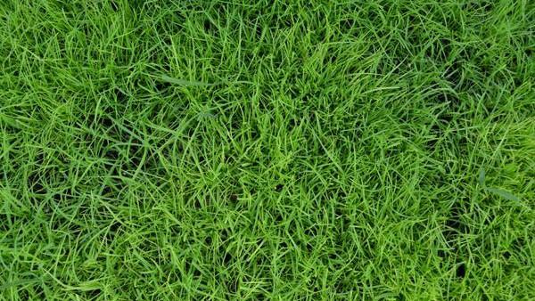 bahiagrass top-down close up