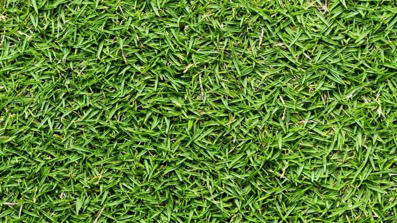 bermudagrass top-down close up