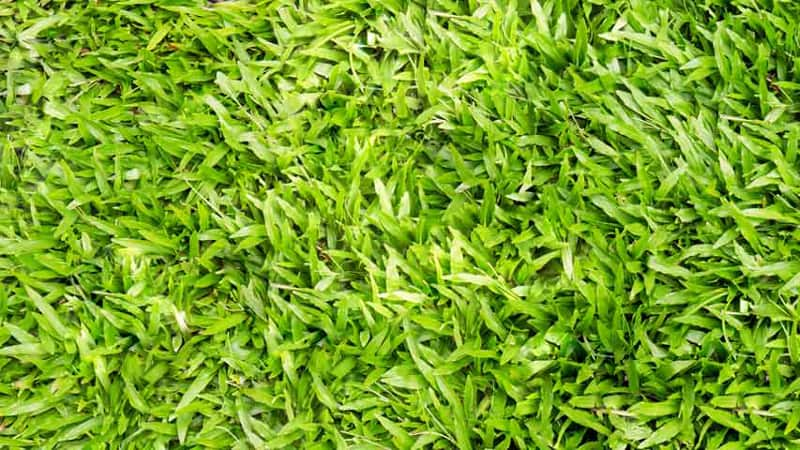 Grass Identification Guide Do You Know Your Grass Type Lawnstar