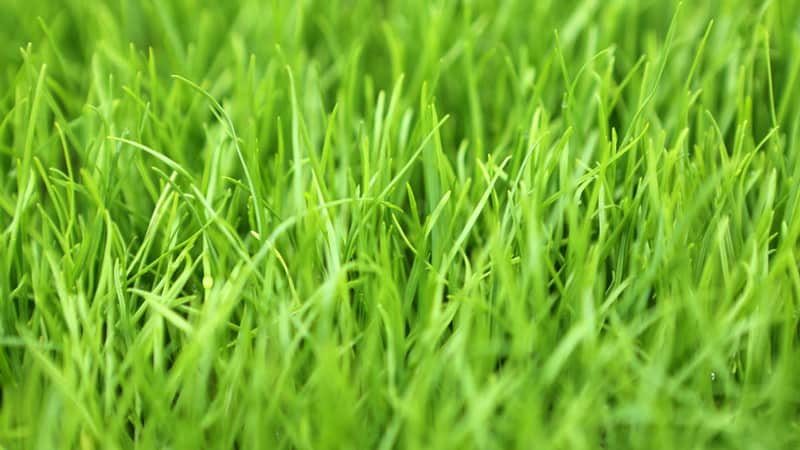 Best Types of Grass to Grow in the Shade 7