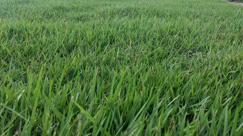 zoysia grass side view close up