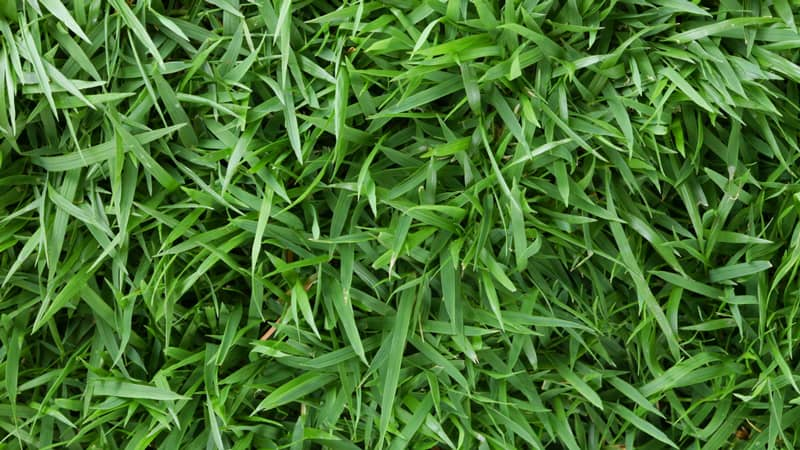 Best Types of Grass to Grow in the Shade 2
