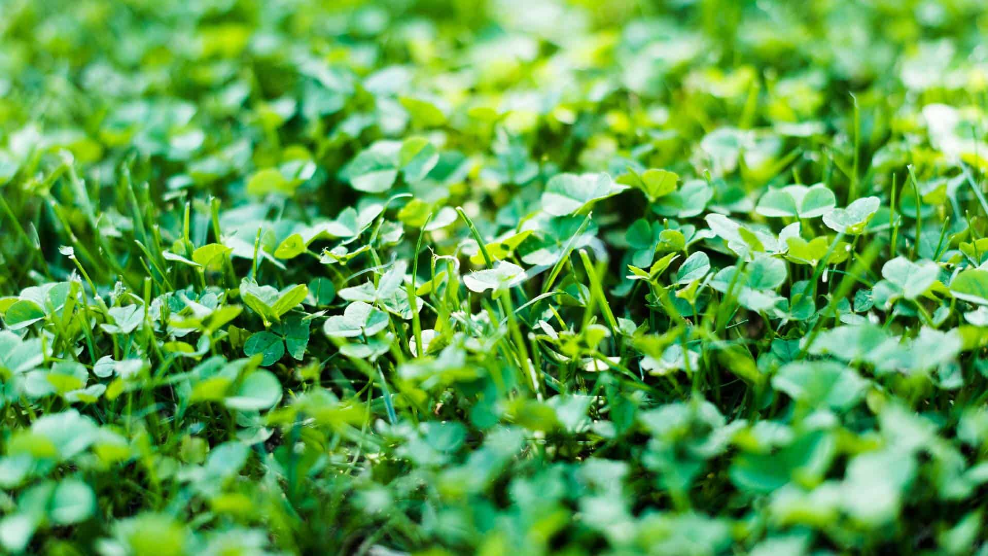 Clover growing in green grass