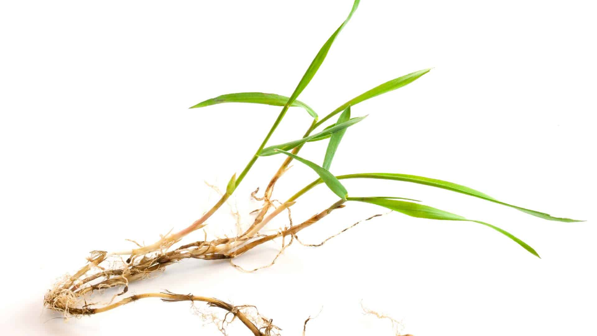 Crabgrass in the Summer | Everything You Need to Know 1