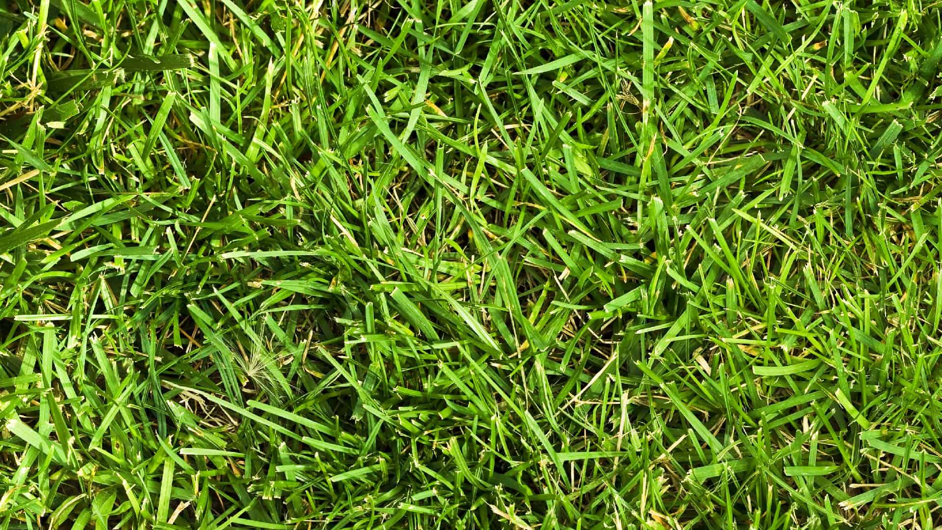 crabgrass growing in green