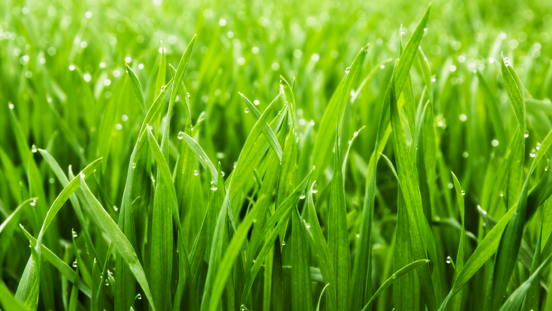 dew on grass tips